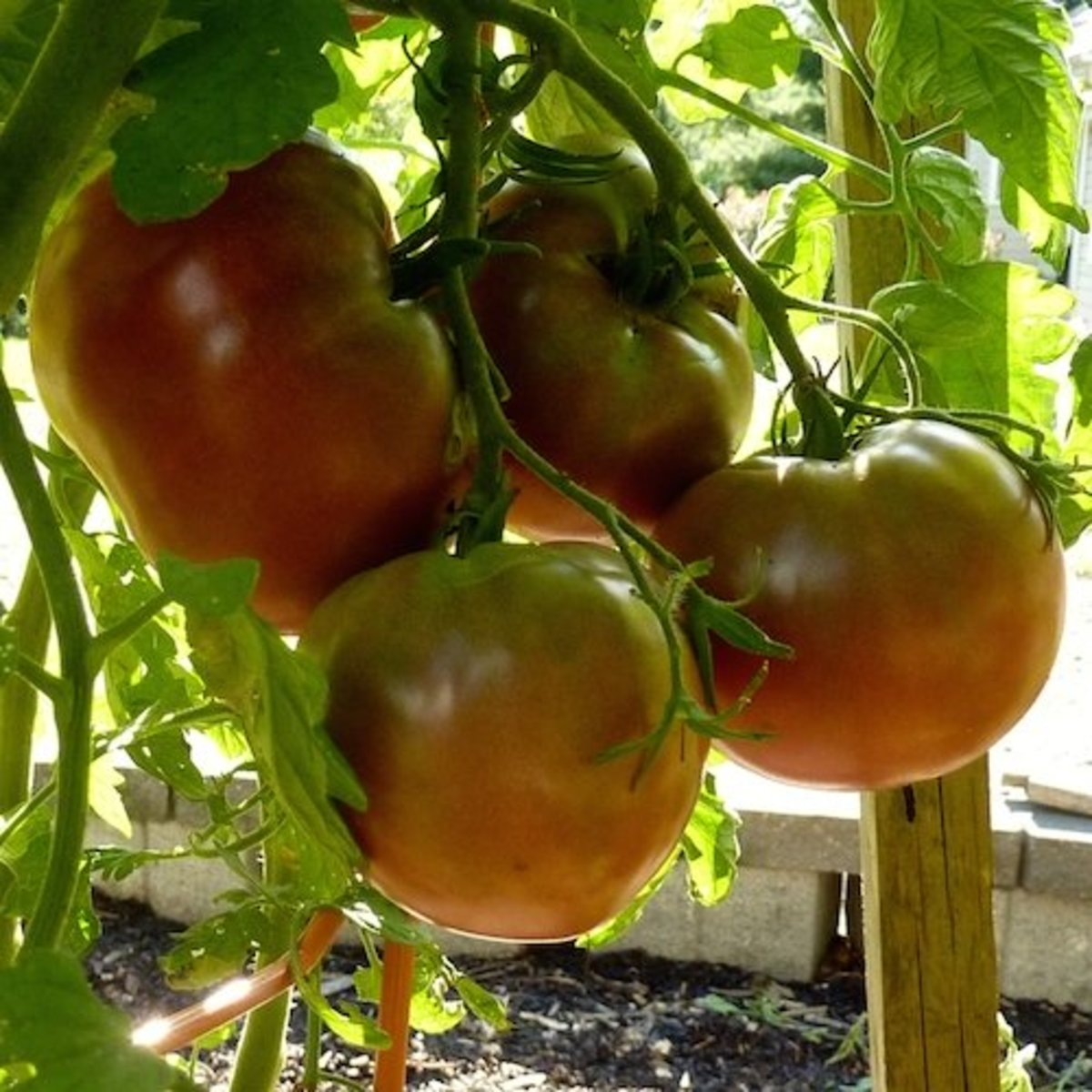 For the real giants, you must thin the tomatoes. So, choose to grow a lot of smaller tomatoes or, grow fewer fruits to get giant tomatoes.