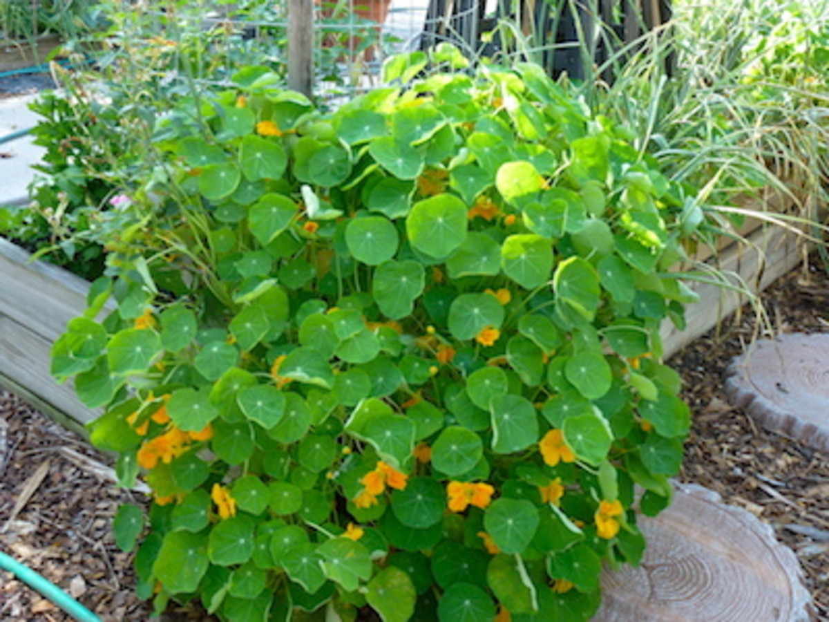 "Nasturtium, ""Cup of Sun"" tumbles over the raised bed. Add color and attract pollinators by adding a bit of flower power in empty spaces."