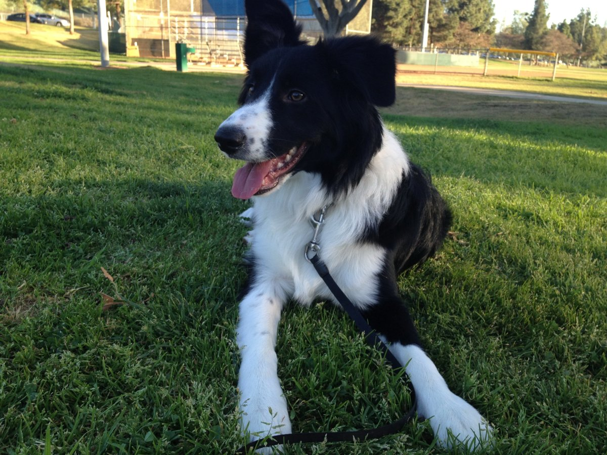 So You Want a Border Collie but You Don't Have a Yard?