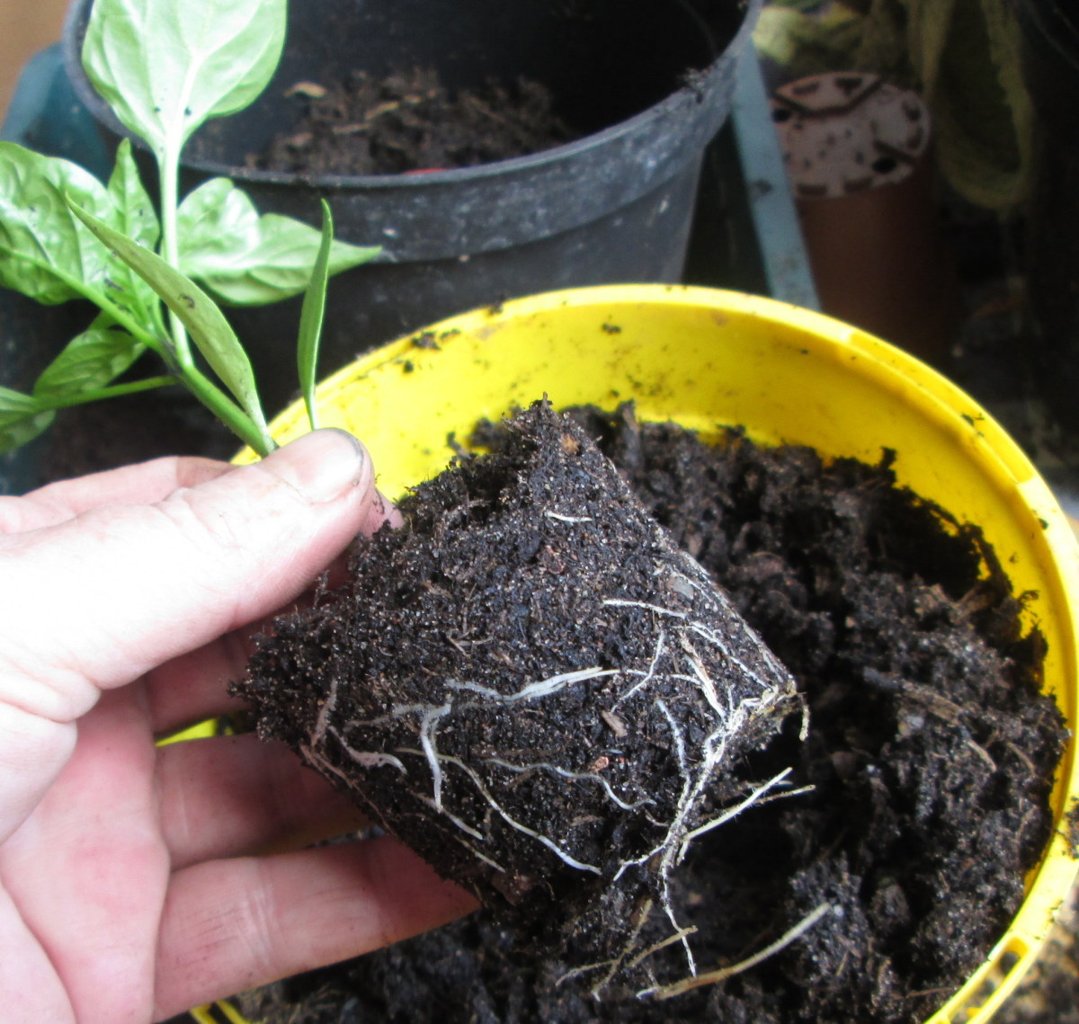 How to transplant the Pepper Plants