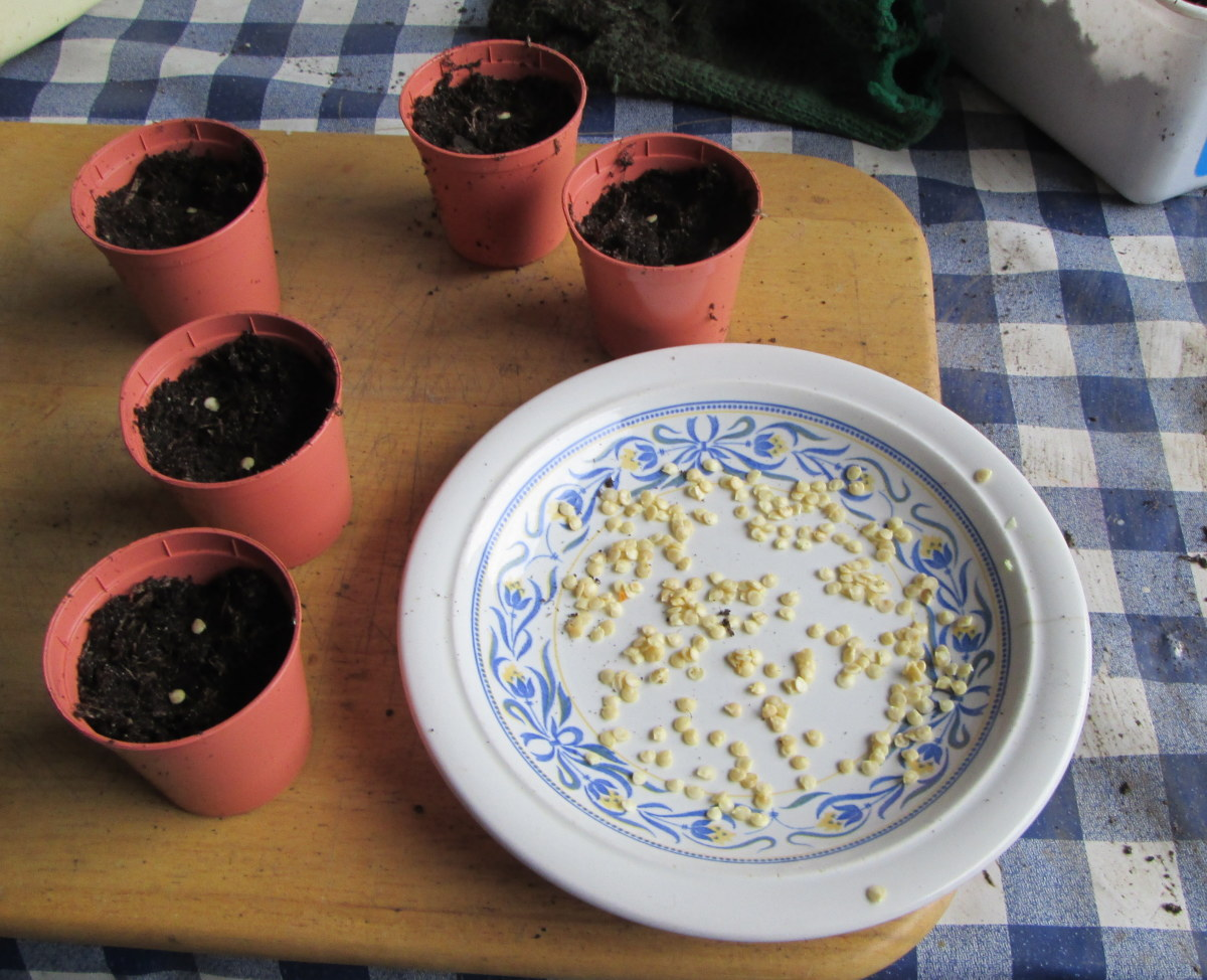 You can grow your own bell peppers from seeds.