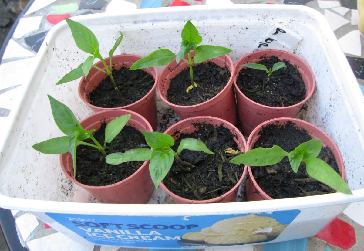 How to grow pepper seedlings.