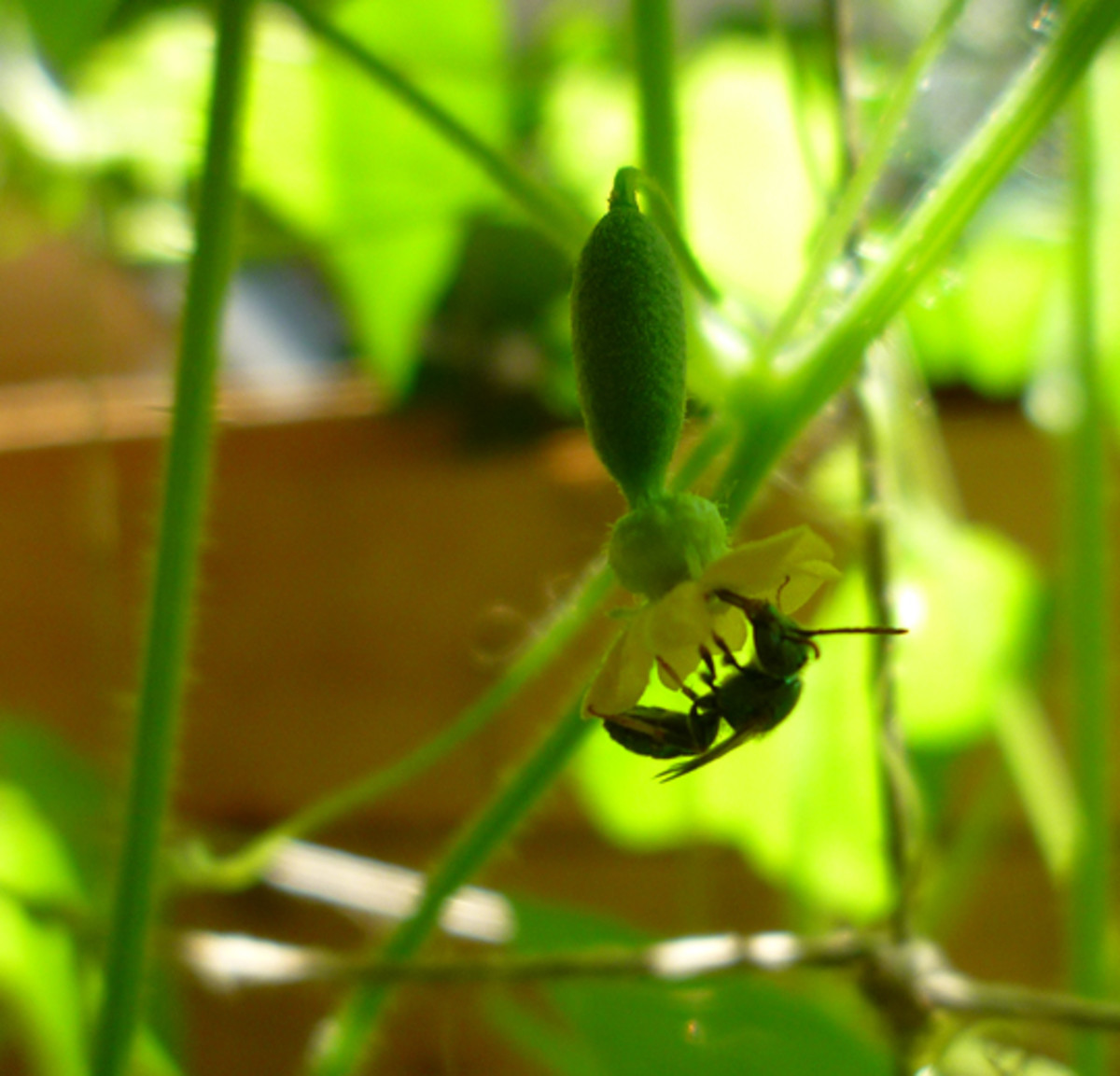 Female Mouse Melon flower being pollinated by a local bee species!