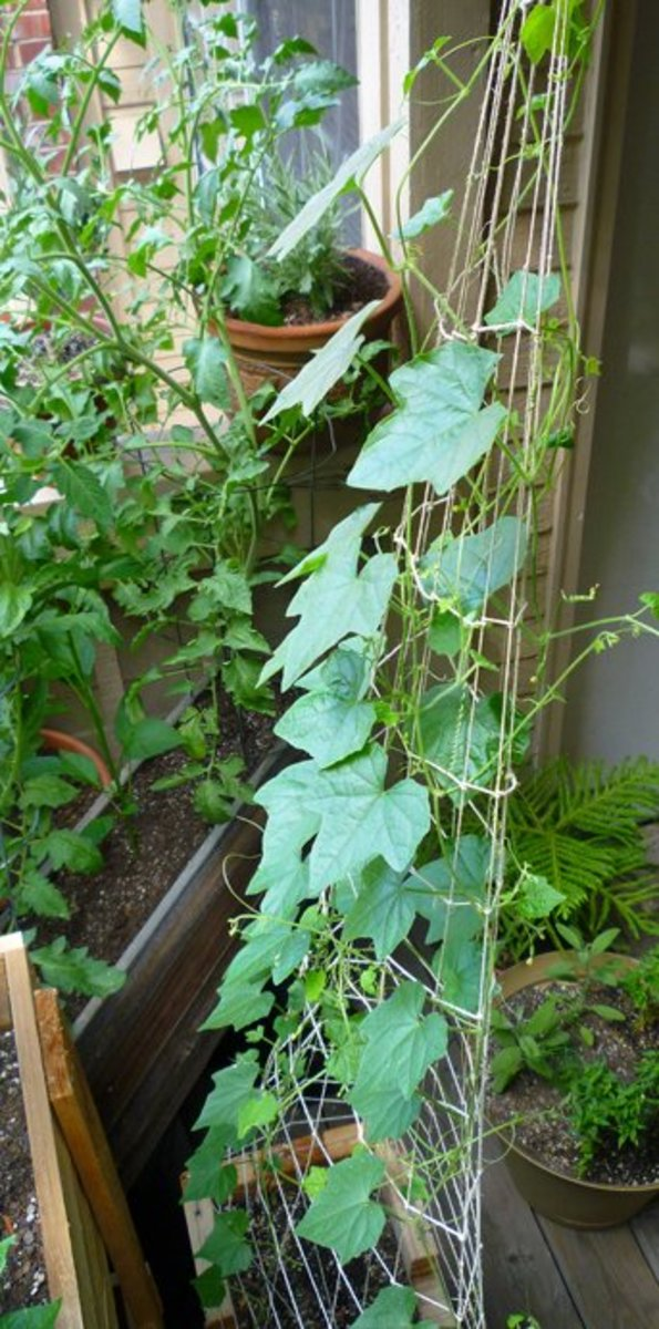 Mouse melon vines on a homemade twine trellis. The trellis pictured is hand tied with hemp twine.