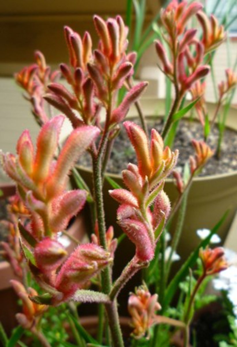Growing kangaroo paws in containers