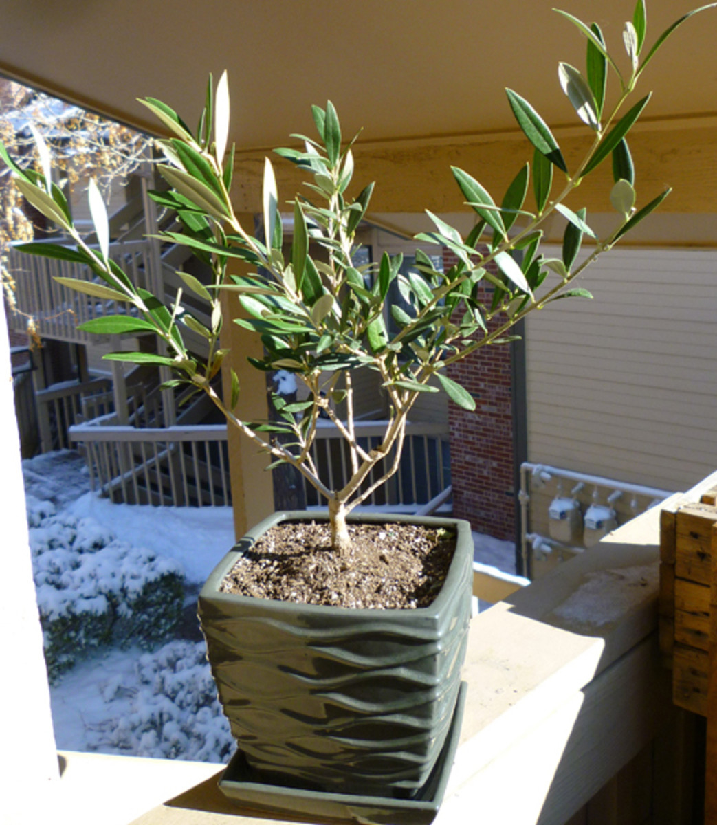 Growing olive trees in containers dengarden for Fertilizing olive trees in pots
