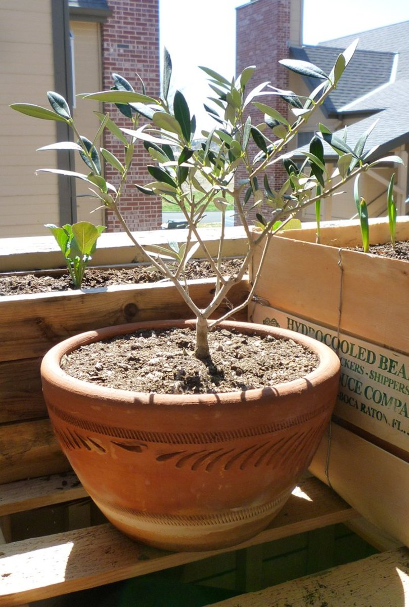 Growing olive trees in containers for Fertilizing olive trees in pots