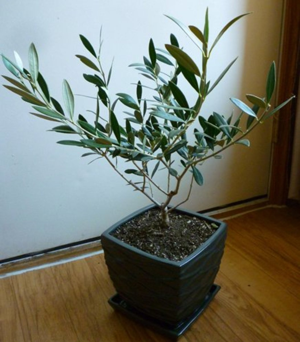 This is the same olive tree as above, only before replanting and pruning.
