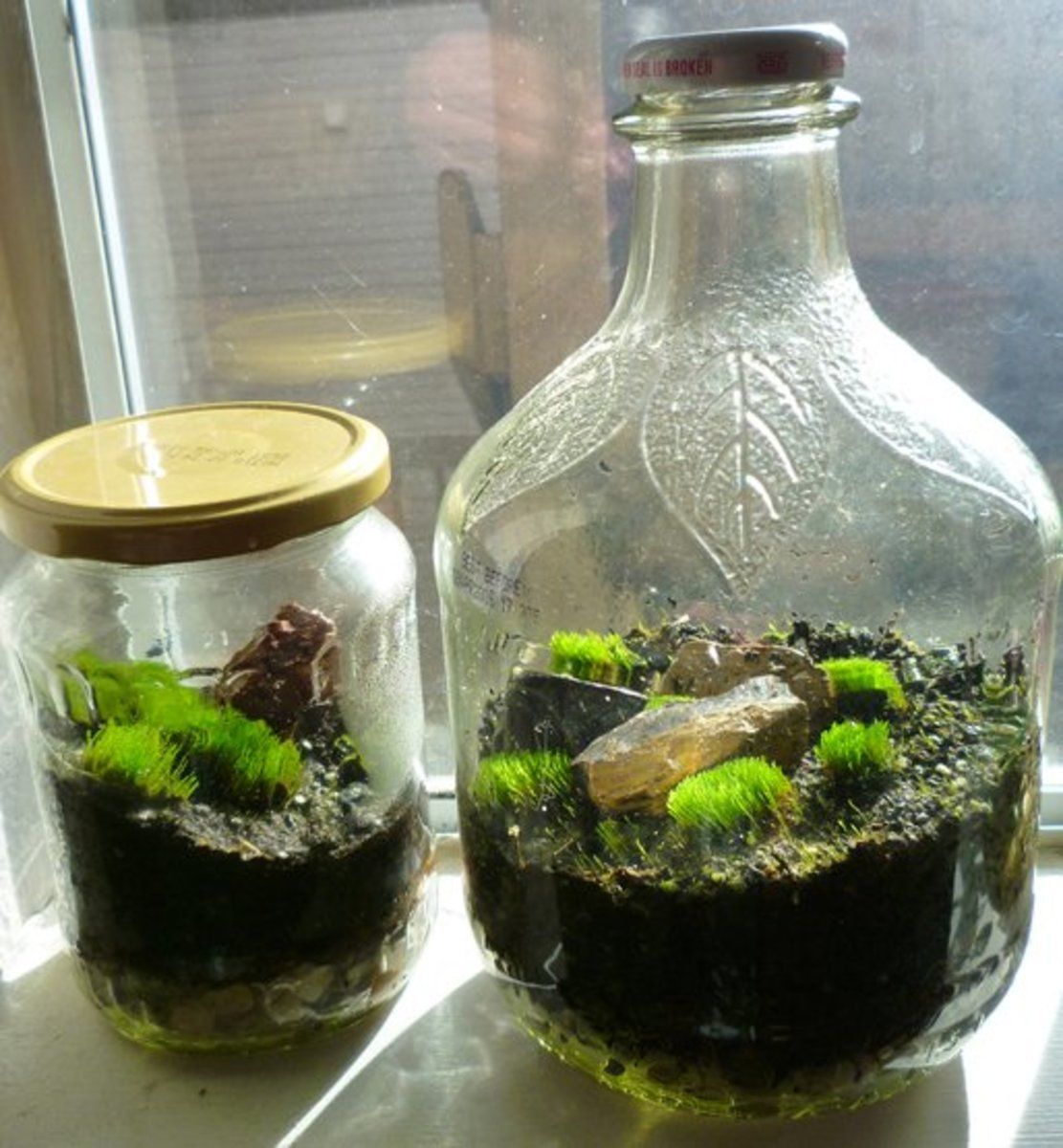 Moss Terrariums in jars. The one on the left was made from an old pickle jar, while the one on the right was constructed from an apple cider glass jug.