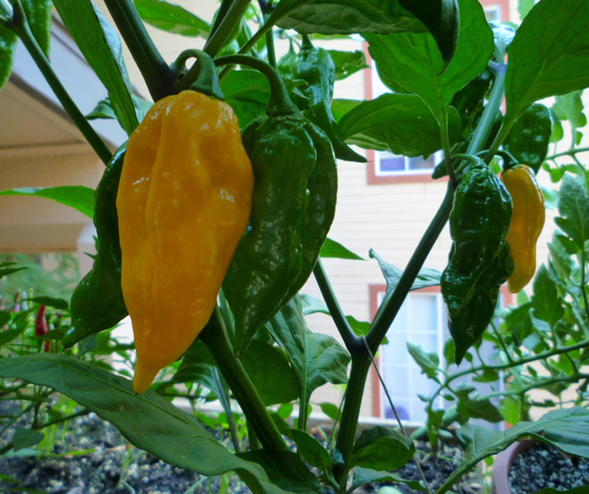 Ripe and unripe Fatalii peppers.