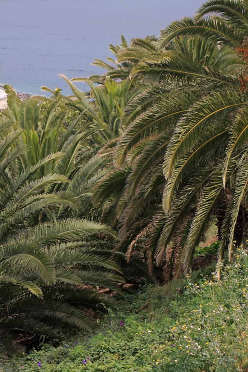 Tenerife: The Santa Cruz Palmetum