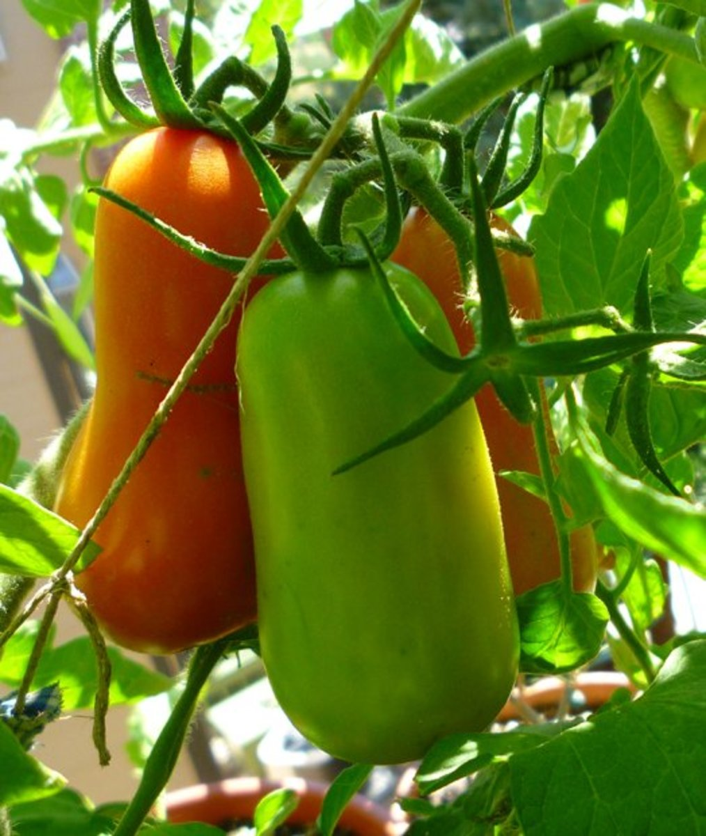 How to Grow and Care for San Marzano Tomato Plants