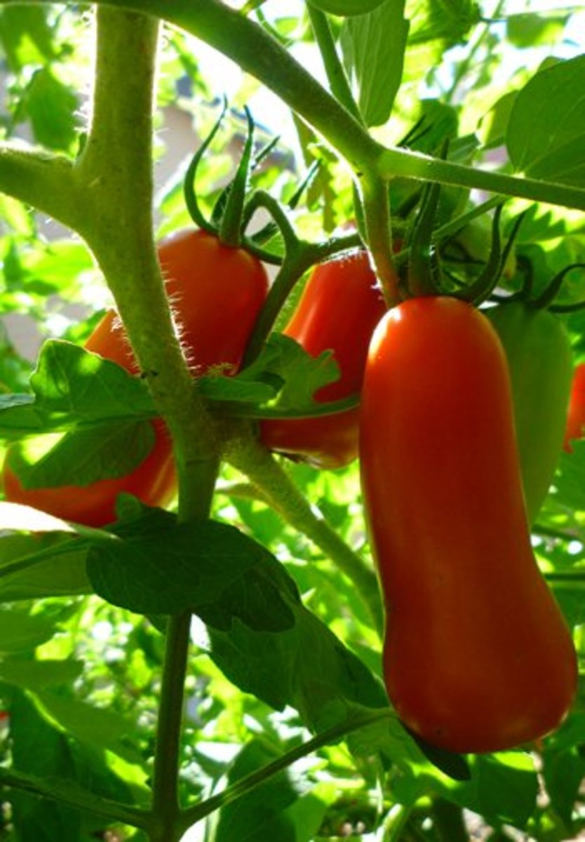 San Marzano Tomatoes. These tomatoes were grown in a container on a second story patio!