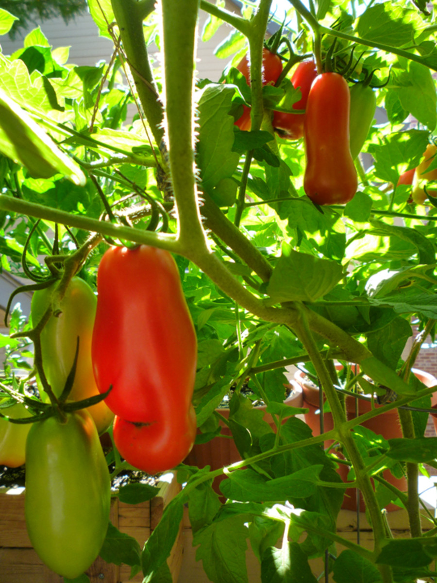 At the peak of the season, there's always a bunch of ripe San Marzano tomatoes to be picked!