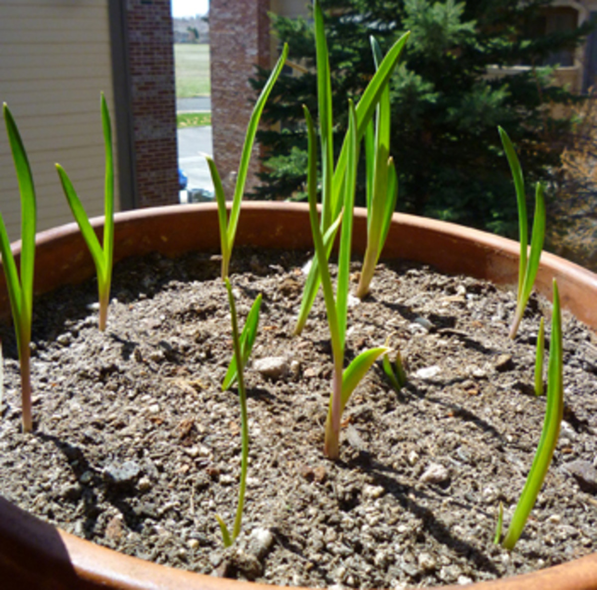 how to grow garlic in a pot dengarden. Black Bedroom Furniture Sets. Home Design Ideas