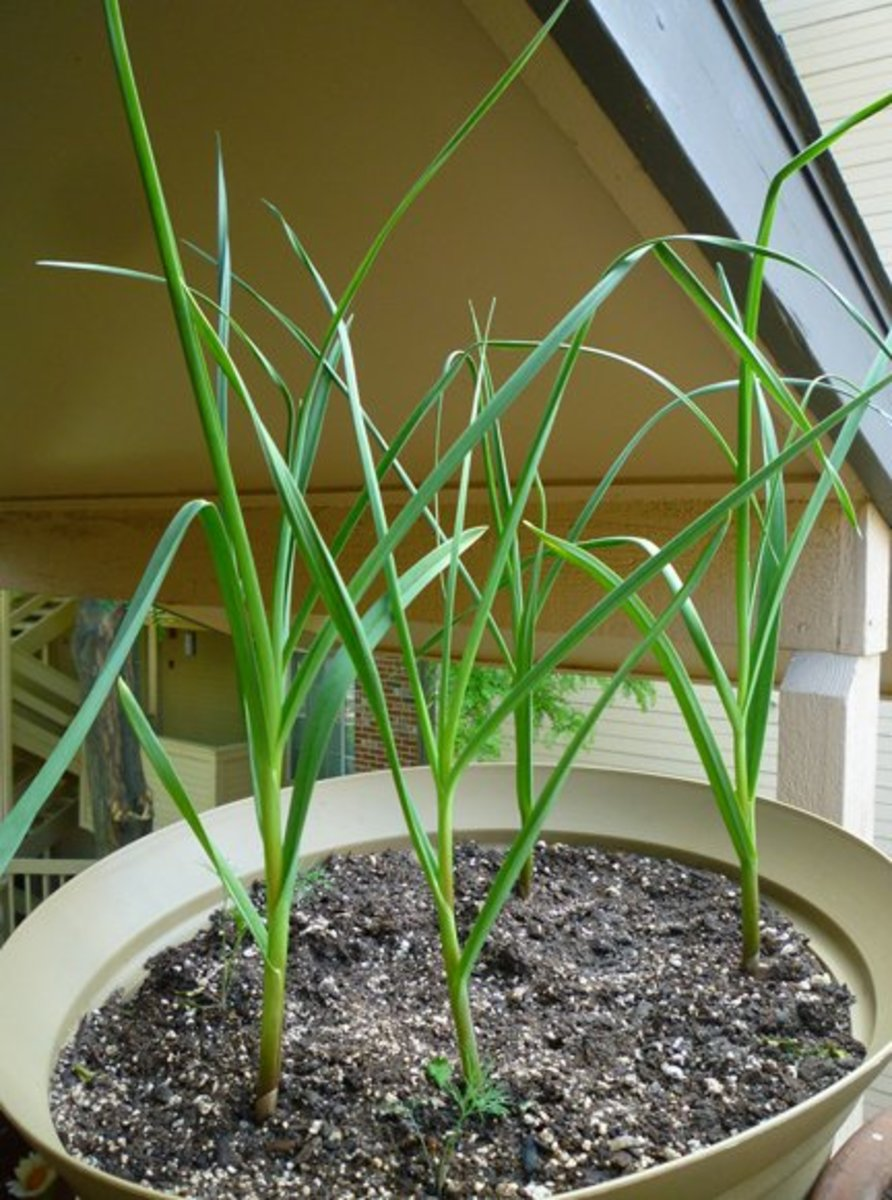 Growing Garlic in Containers.