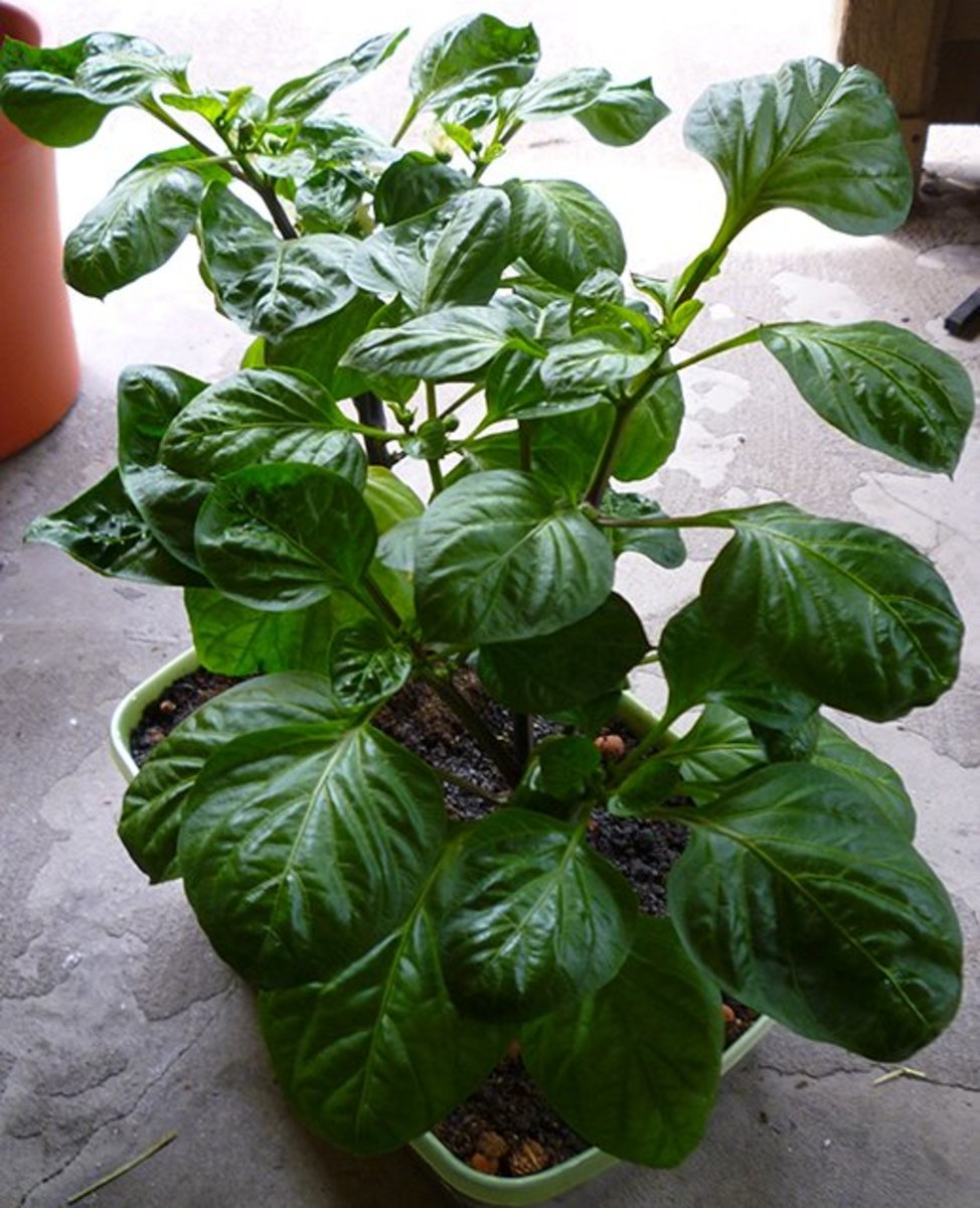 Orange Bell Pepper Plants in Containers.