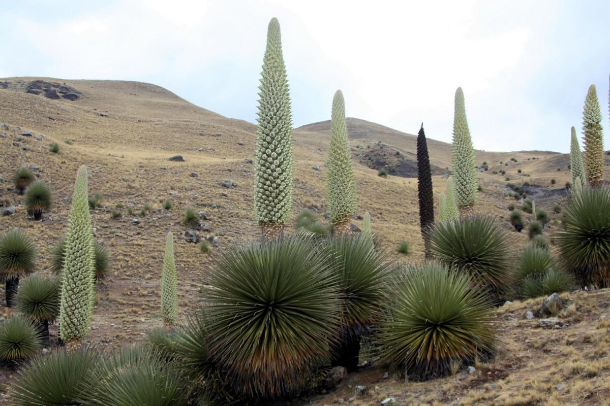 Puya ramondii is known as the queen of the Andes.