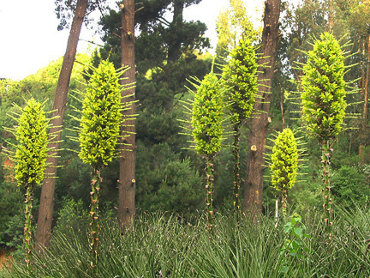 Puya chilensis is often referred to as the sheep-eating plant.