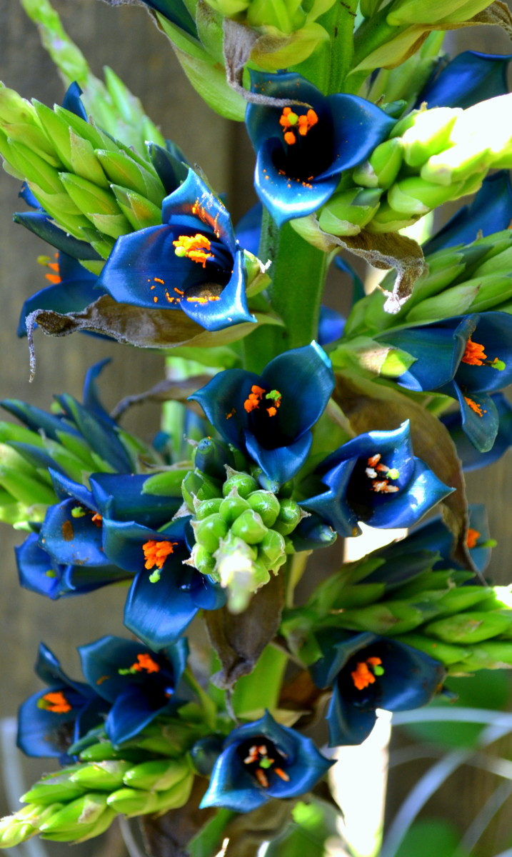 The exotic teal blue flowers of Puya Alpestris  contrast w/ the bright orange anthers on this spectacular and rare bloom.