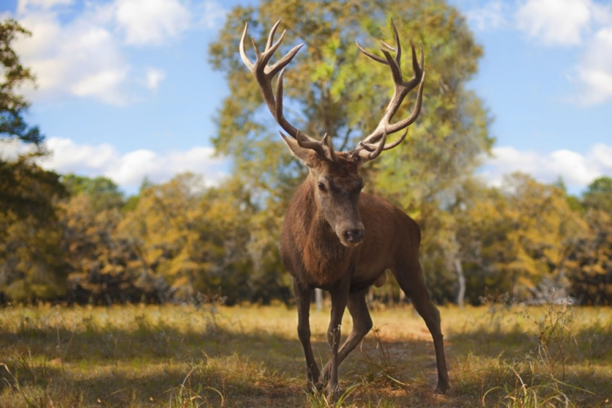 Should Enormous Deer Antlers Count as Hunting Trophies?