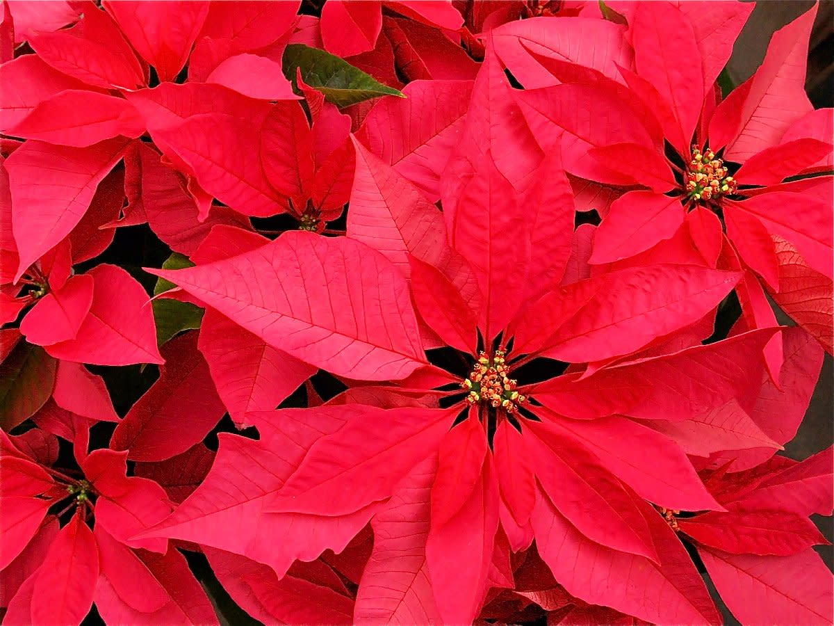 Twelve Christmas or Holiday Plants - Poisonous and Safe
