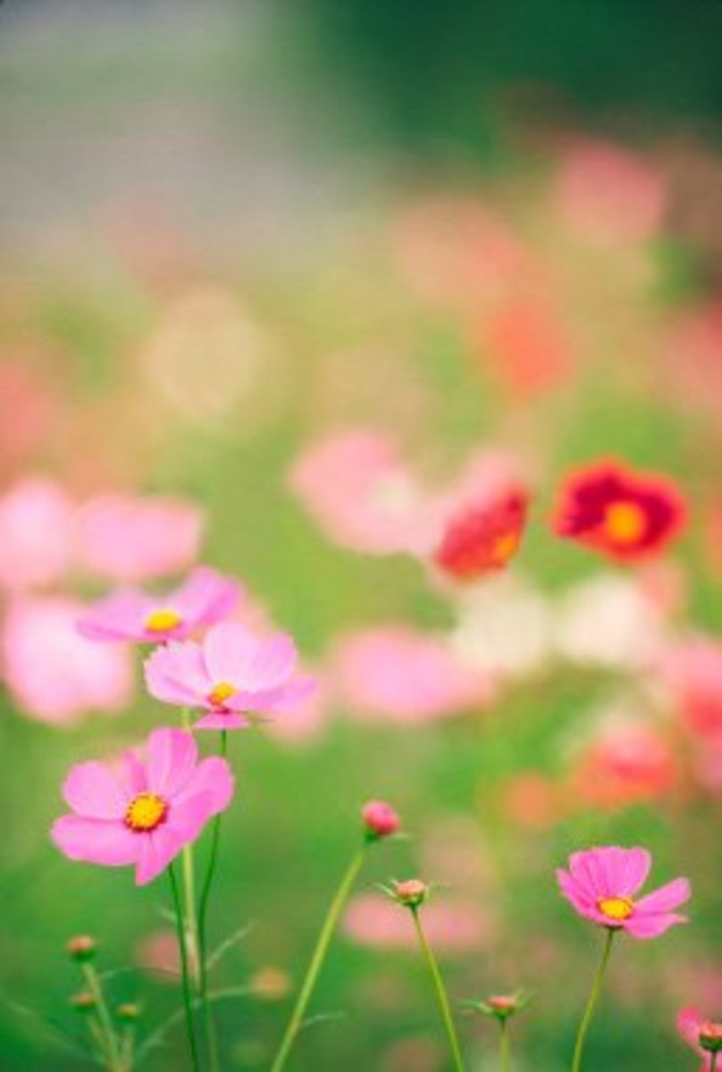 Cut flowers when they are completely dry from dew or rain - a sunny afternoon is a good time.