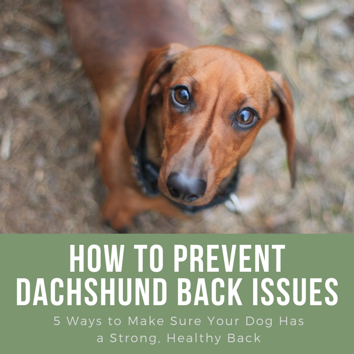 Dachshunds often develop back problems, but these tips can help your dog stay strong and healthy.