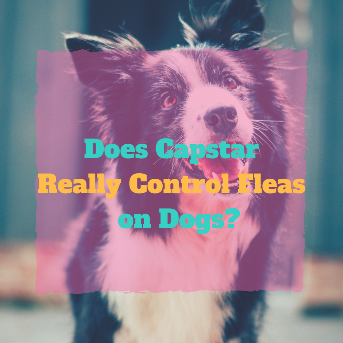 Using Capstar to Fight Fleas in Dogs: Treatment and Where to Buy