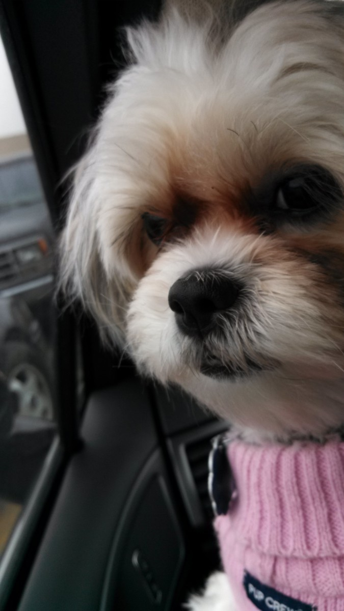 A Maltese Shih Tzu (Malshi) enjoying a car ride!