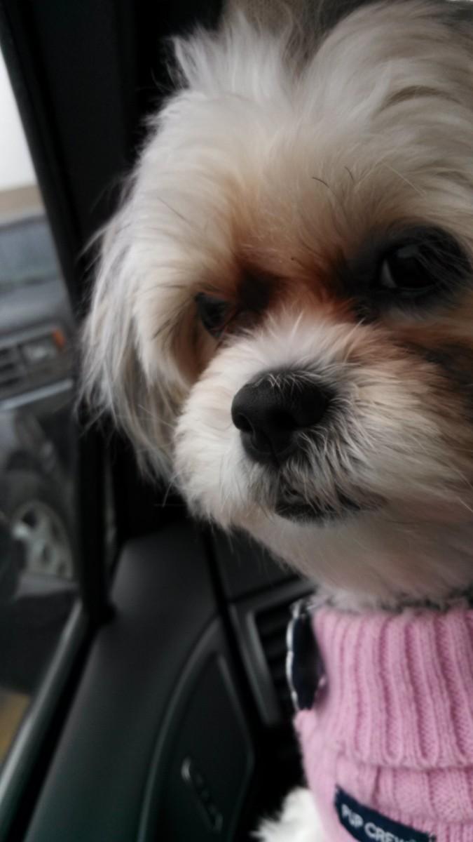 Maltese Shih Tzu = Malshi:  Best Dog Ever!