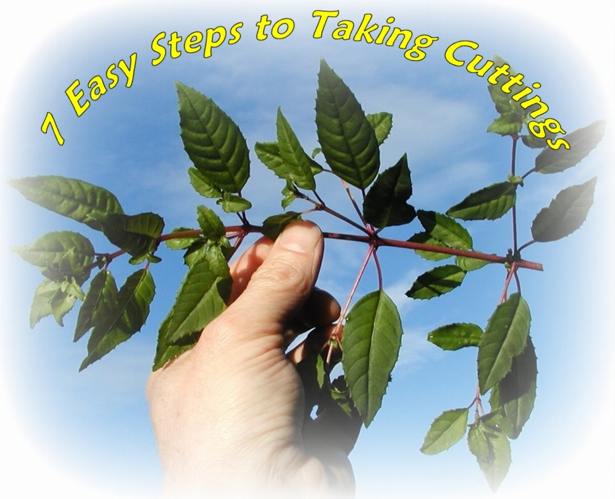 7 Easy Steps to Taking Cuttings From Fuchsias