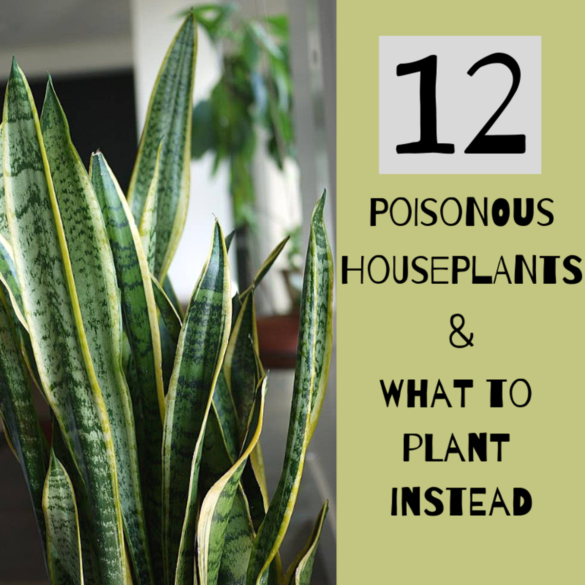 The snake plant is also known as the mother-in-law's tongue.