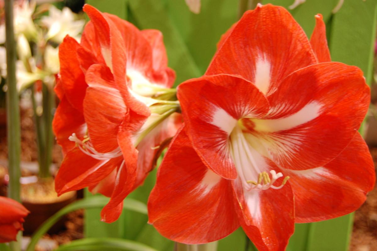 A bilcolor amaryllis