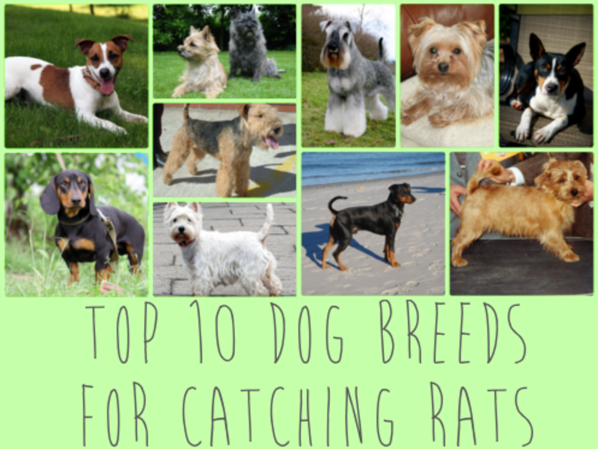 Best Dog Breeds For Catching Rodents