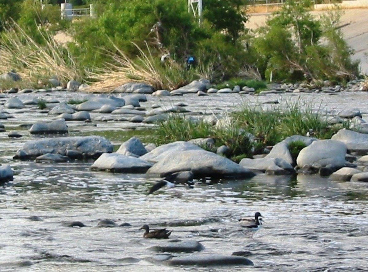 A still natural section of the Los Angeles River, with ducks, heron, fish, and room to kayak.