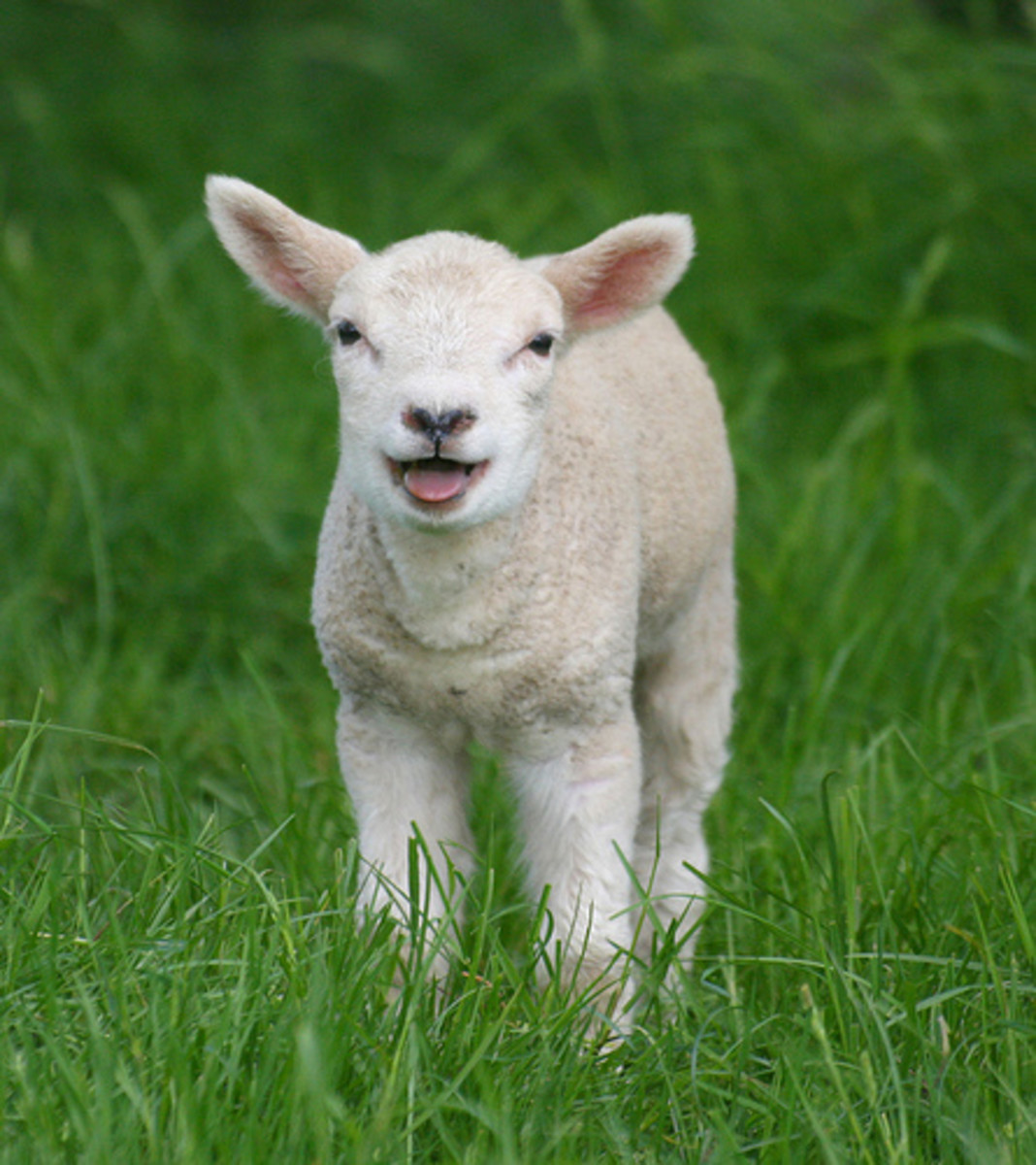 Mukti the lamb comes of age - A short story