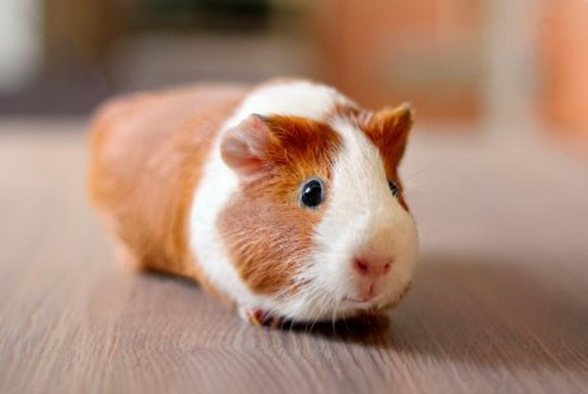 "This guinea pig could be called ""Cutie Pie"", it is so adorable."