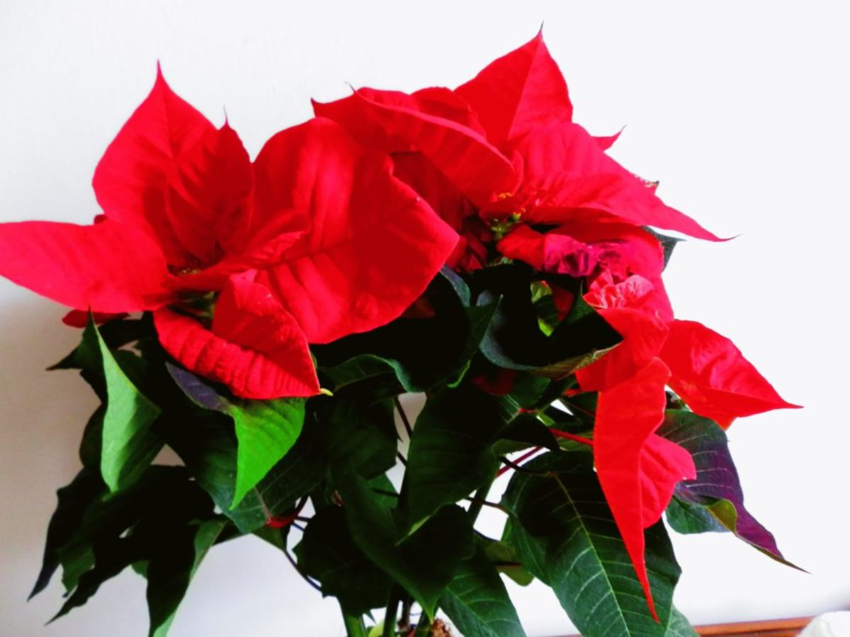 poinsettia plant with red leaves (bracts)