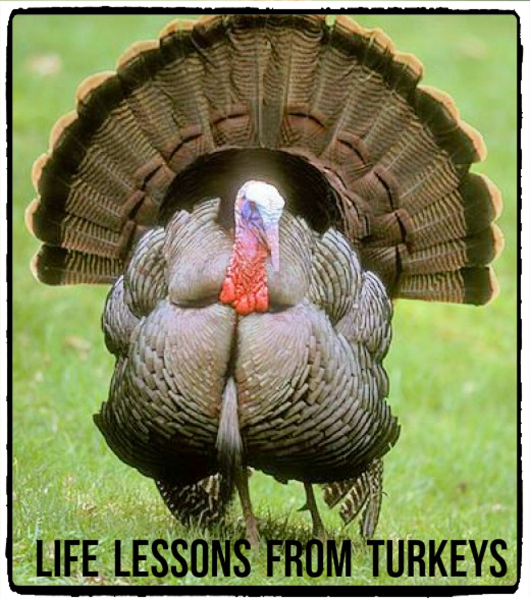 Although many people think of turkeys as stupid animals, this is untrue.  Their reputations have been unfairly earned because of an inherited neurological disorder, tetanic torticollar spasm.  It causes staring at the sky for up to a minute.