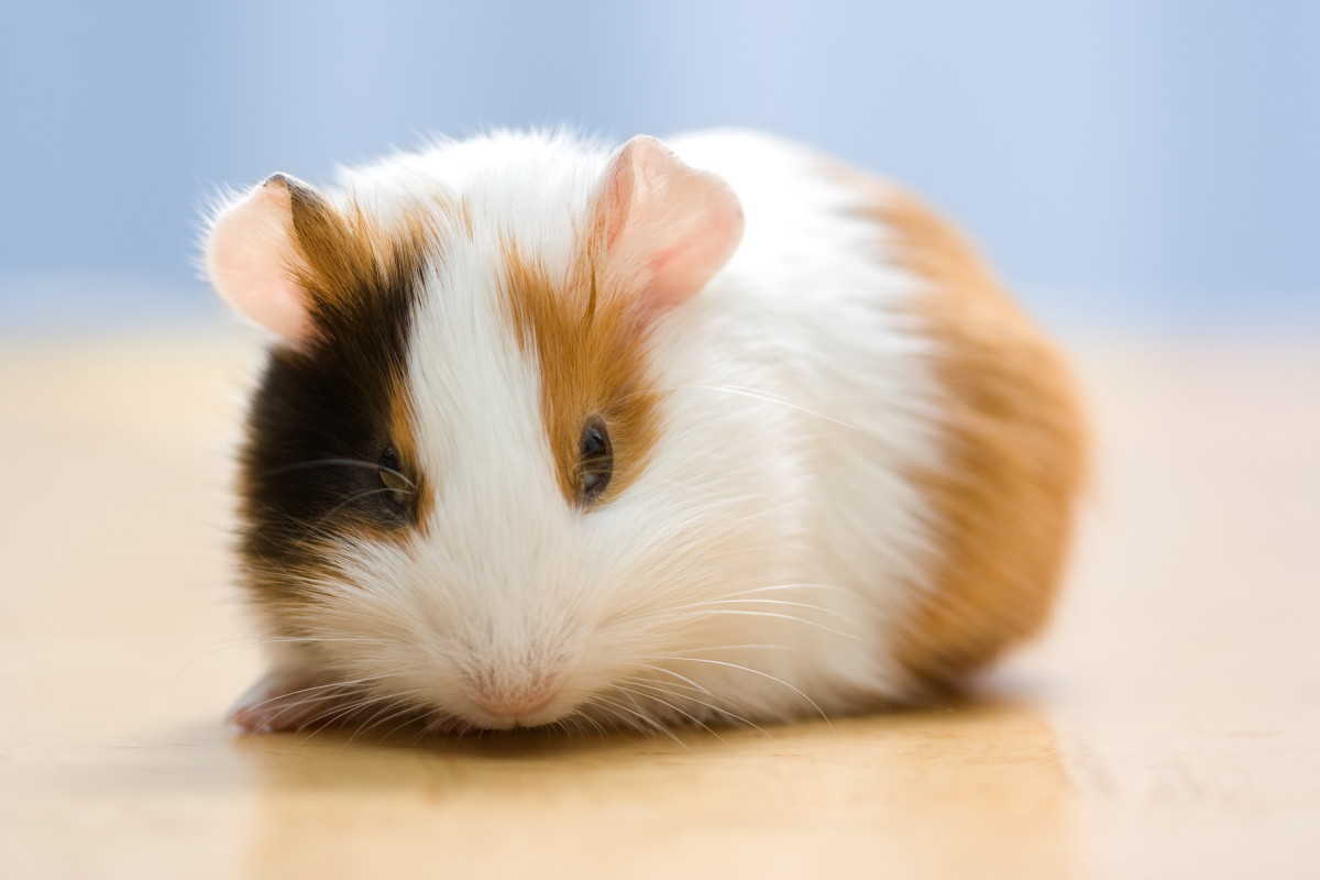 72 cute and funny guinea pig names
