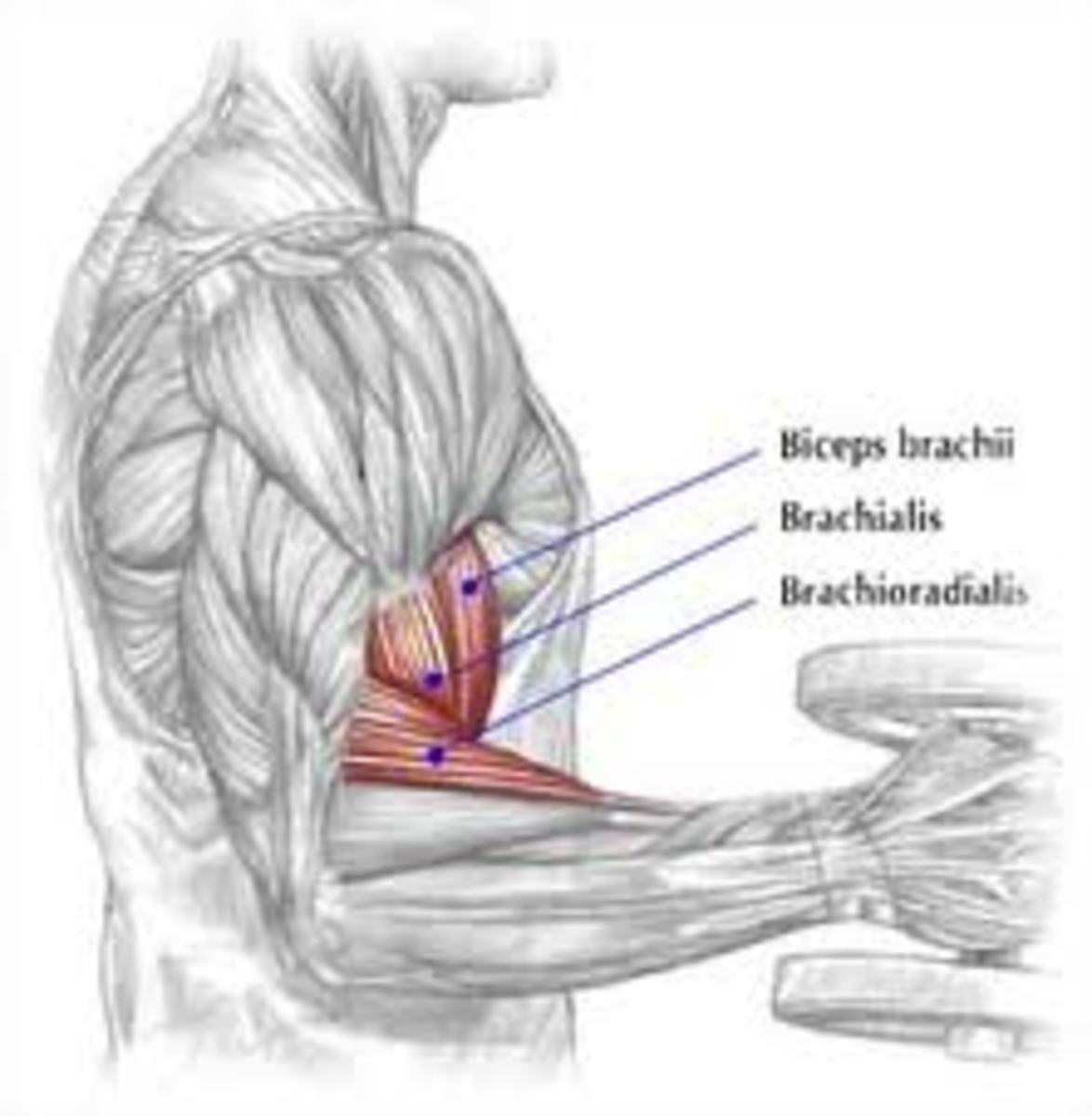 Intense Bicep Workout & Exercises