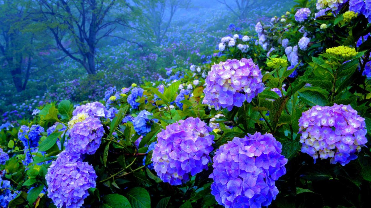 Hydrangeas with a purple hue.
