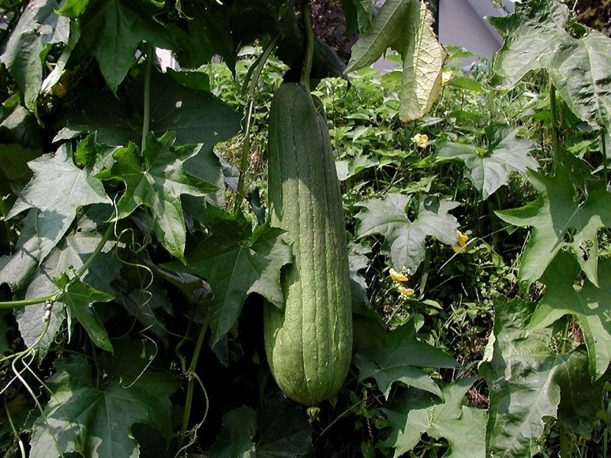 How to Grow Luffa to Make Your Own Sponges