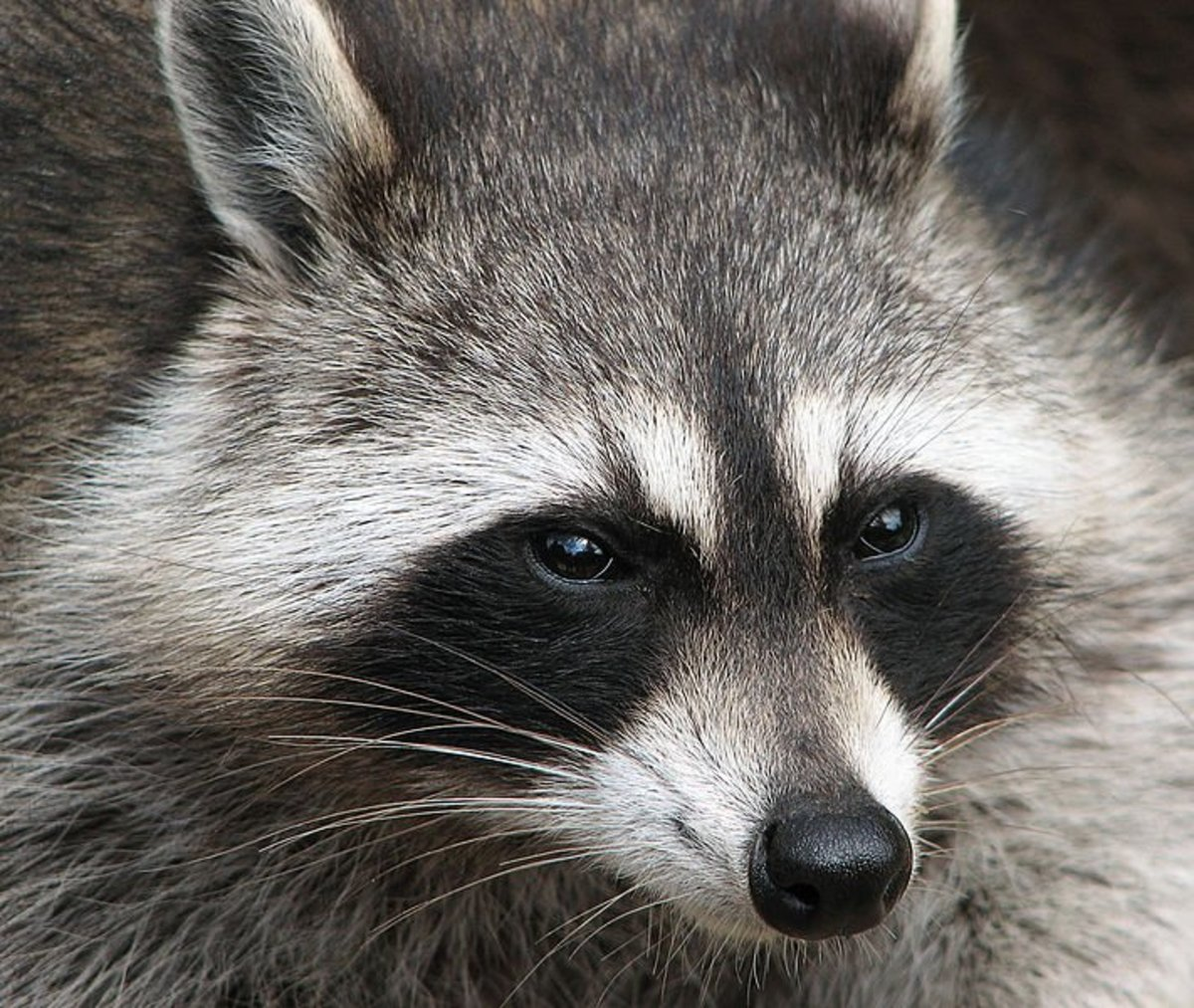 How to get rid of raccoons yourself.