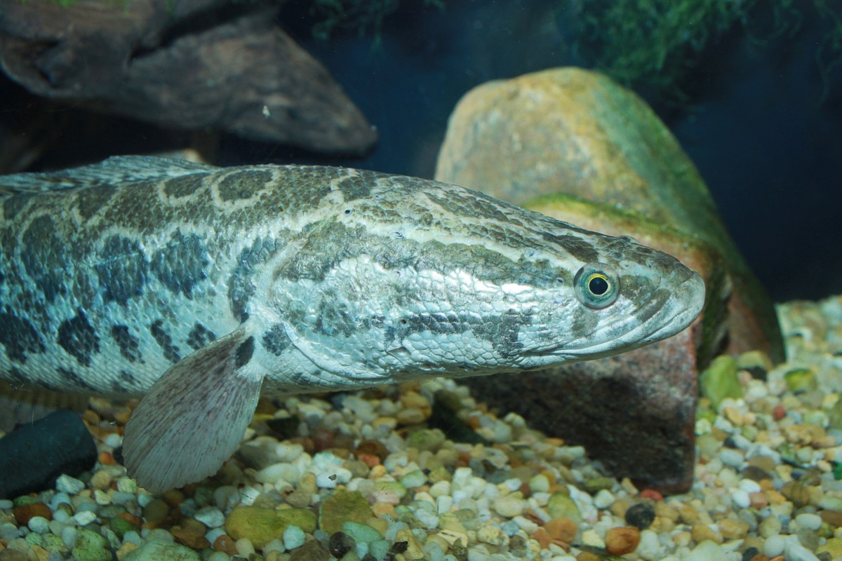 The northern snakehead