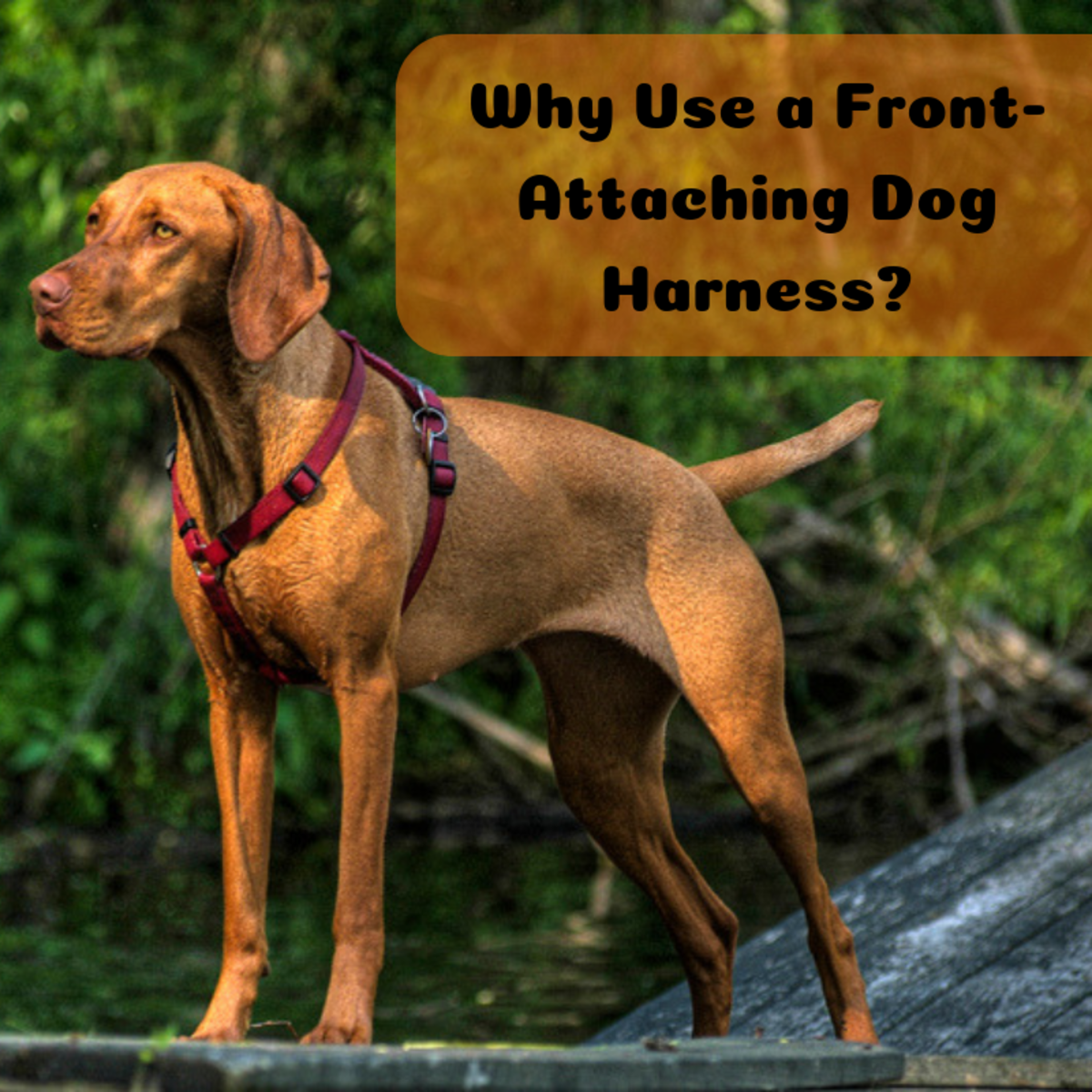 Front-clip harnesses can aid dog owners during training.
