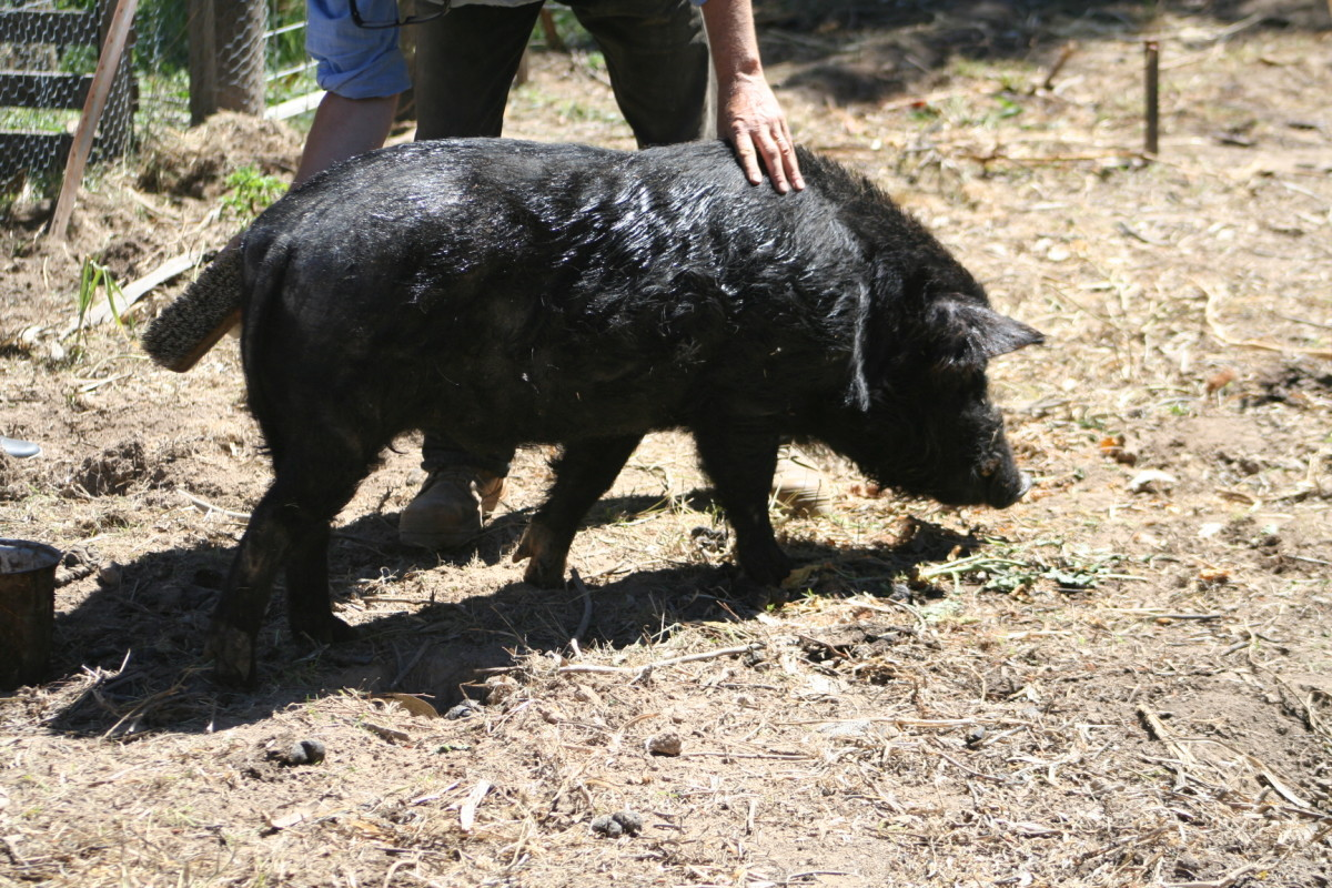 Knee-high miniature pig likes to be brushed. It is not much different to brushing a dog.