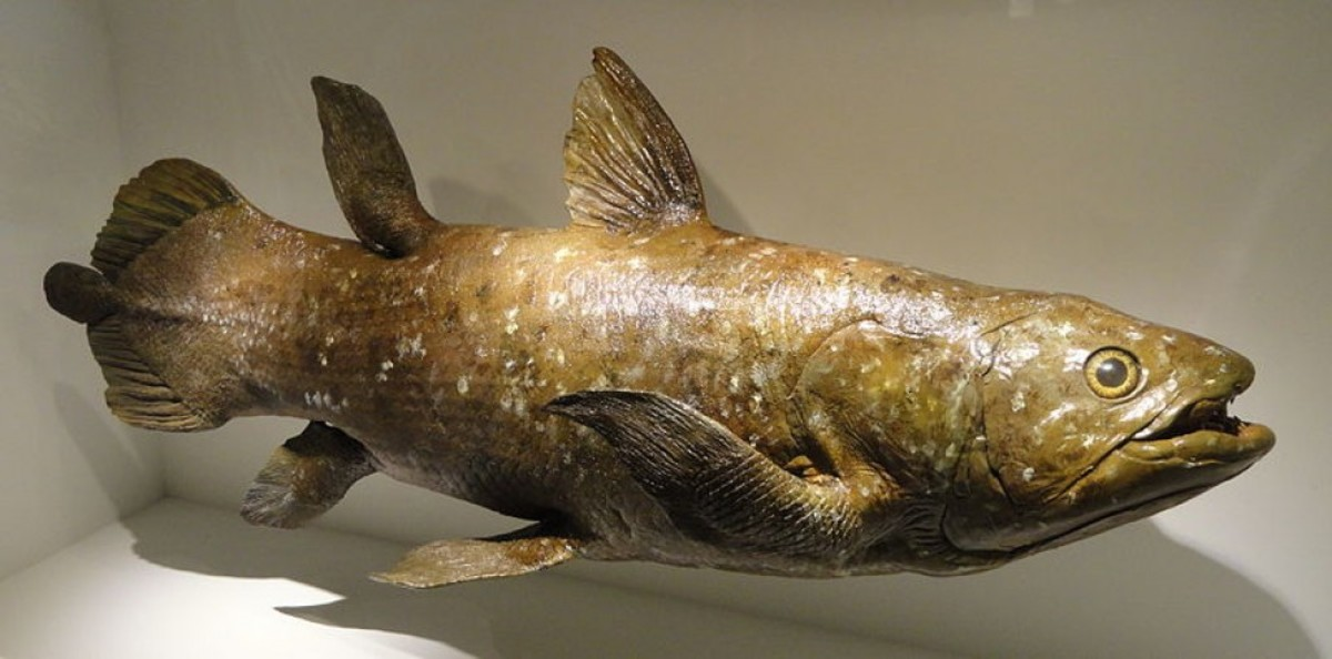 The Coelacanth is a prime example of the Lazarus Taxon, a prehistoric animal that disappears from the fossil record and is then found alive.