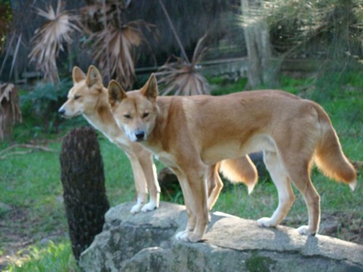 Actual dingos at the zoo.